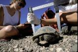 photo showing measuring a desert tortoise