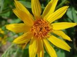 Arrowleaf Balsamroot can be found within Lassen Volcanic NP