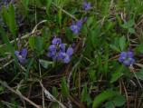 Blue violet at Summit Lake