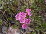 Bog kalmia on Park Highway