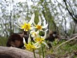 Fawn lily on Brokeoff Mountain Trail