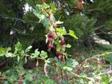 Fuschia-flowered gooseberry