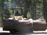 Hauling away dead hazard tree from Manzanita Lake Campground.