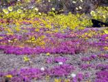 Desert dandelion, golden evening primrose, and purple mat carpet the springtime landsape near Cinder Cone National Natural Landmark.