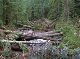 Fallen trees lay like jackstraws across the Carbon Glacier Trail.