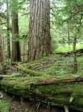 Lowland forests, like this one at Longmire, are are dominated by western hemlock, Douglas fir, and western red cedar.