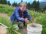 A volunteer collects seeds at Paradise, to be grown in Mount Rainier National Park's greenhouse for restoration projects.