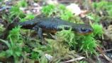 Rough-skinned Newt