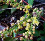 Cascade Oregon-grape