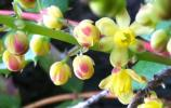 Cascade Oregon-grape Flower