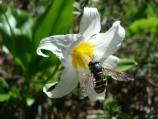 A Hover Fly eating pollen from an Avalanche Lily. Hover Flies mimic the bold yellow and black stripes of bees to avoid predators, but unlike bees have no stingers. In subalpine meadows, Hover Flies pollinate more flowers than bees.