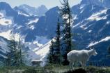 Mountain goats stand along the Easy Pass Trail.