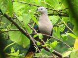 Photo of Pacific pigeon, lupe