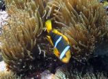 orange-fin anemonefish, Amphiprion chrysopteris, Samoan name tu'u'-lumane