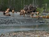 A herd of cows along the Hoh River, Roosevelt elk are common inhabitants of the Hoh rainforest.