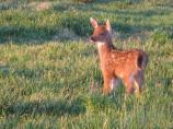 A blacktail fawn grazes in a meadow near Hurricane Ridge