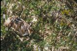 Two blacktail fawns nest in the grass, camouflaged by their surroundings.
