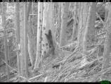 This is the first of a three-image series showing a mother fisher carrying four kits down from her den tree. In this photo, she and her kit are nearing the base of the snag.