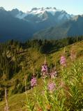 Mount Olympus with Fireweed