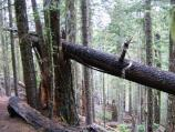 Snags and down trees are habitats for many creatures in the Old Growth Forest.
