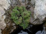 Mosquito fern fronds growing near a rocky pool