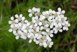 Yarrow flowers seen from above.