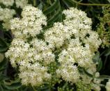 Clusters of creamy-white elderberry flowers