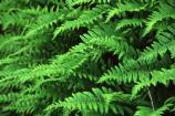 Licorice fern fronds