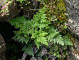 California lace fern growing among mosses in a rock crevice