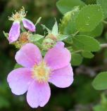 California wild rose flowers and leaves