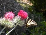 A swallowtail butterfly perches on a venus thistle bloom