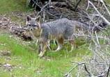 A chance encounter with a gray fox on a spring morning