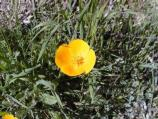 California poppies are common in the dry streambeds of Pinnacles in late spring and early summer.