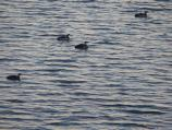 Four Common Loons swimming at Drakes Estero.