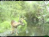 A black-tailed deer buck at Olema Creek.