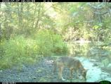 A coyote (Canis latrans) drinking from Olema Creek.