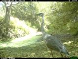 A Great Blue Heron (Ardea herodias) along Olema Creek.