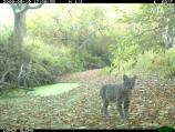 A bobcat (Lynx rufus) along Olema Creek.