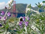 Bee on Silver Lupine