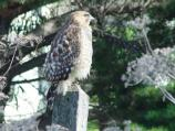A juvenile Red-shoulder Hawk.