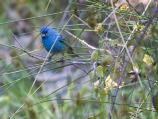A rare sighting of an Indigo Bunting during the spring bird migration.