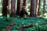 trail in Redwood forest