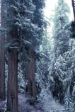 A winter strom deposits snow on coast redwoods (Sequoia sempervirens) on Bald Hills Road.