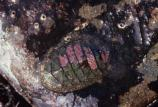 Chitons, a kind of mollusc, are not uncommon in the tidepools along Redwood's 37 miles of coastline.
