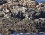 Harlequin duck (Histrionicus histrionicus) at Enderts Beach.