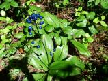Clintonia's deep pink trumpet-shaped flowers ripen into dark blue berries by July.