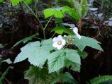 Thimbleberry bush in bloom.