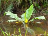 Skunk cabbage blossom.