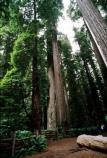 Ancient coast redwoods (Sequoia sempervirens) tower above visitors to Stout Grove.