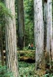 Visitors gaze upwards towards the crowns of ancient coast redwoods (Sequoia sempervirens).